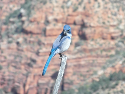 Posing bluebird grand canyon
